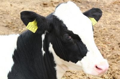 牛から目を離すと…