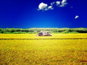 図3 大規模な稲作