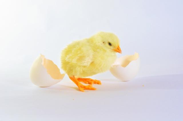 図8 孵化した雛が最初に見るもの