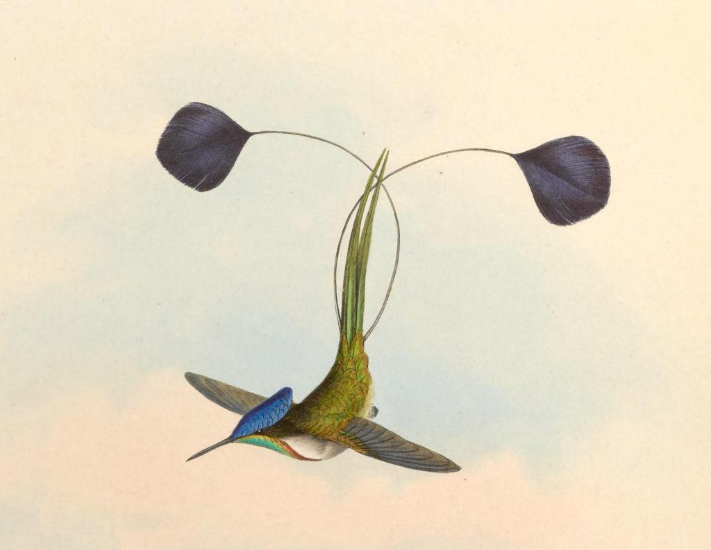 図9 オナガラケットハチドリ(Wikipediaより)