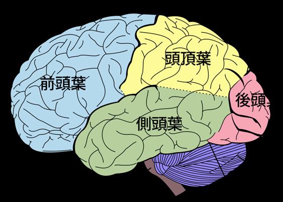図5 脳の構造
